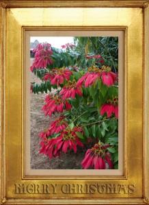 Belizean Poinsettia