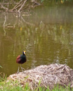 northernjacana2893edge
