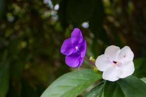purplewhite2899