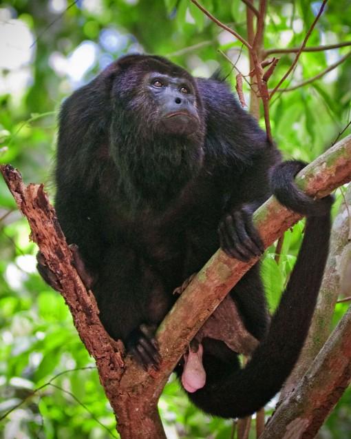 Howler Monkey 6635